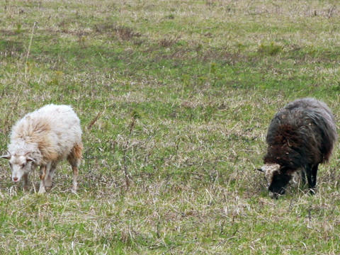 Sheep eat grass. The first spring grass Footage