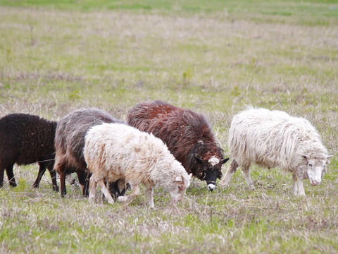 Sheep Eat Grass. The First Spring Grass stock footage