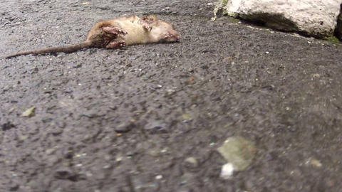 Dead rat Stock Video Footage