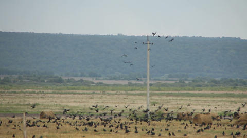 A flock of crows in the field Stock Video Footage