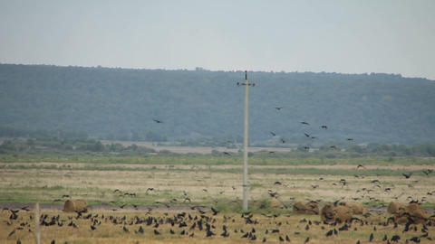 A Flock Of Crows In The Field stock footage