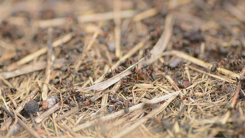 Ants on an anthill closeup, dolly shot Stock Video Footage