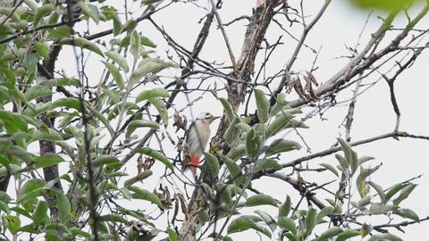 Woodpecker eats walnuts on a tree Stock Video Footage