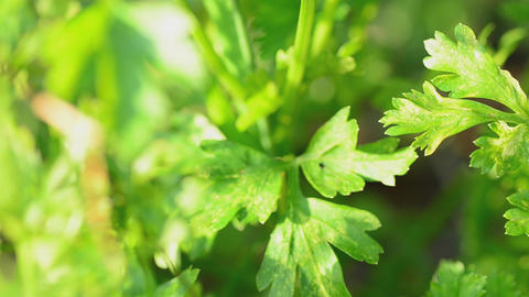 Parsley in the field. Motorized dolly shot Stock Video Footage