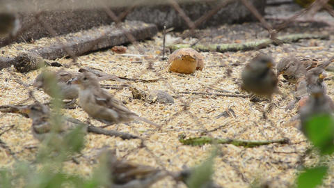 Sparrows eating seeds Footage