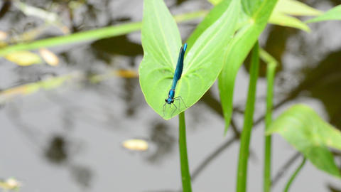 Dragonfly at River Close up Stock Video Footage