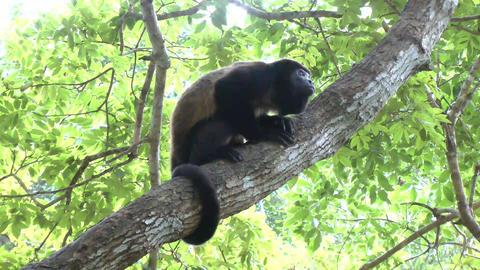 Black-headed spider monkey (Ateles fusciceps) eati Footage