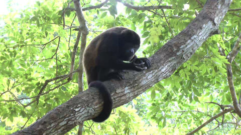 Black-headed spider monkey (Ateles fusciceps) eati Stock Video Footage