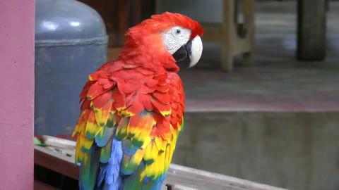 Close up video of Scarlet Macaw. It has suffered f Stock Video Footage