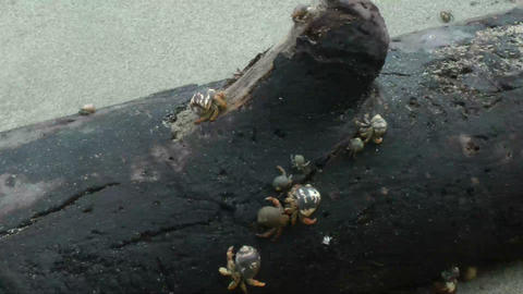Many Hermit Crab on the beach Stock Video Footage