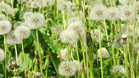 fluffy dandelions Stock Video Footage