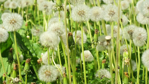 fluffy dandelions Stock Video Footage