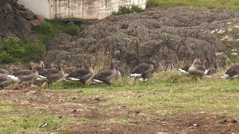 icelandic greylag goose walking in single file Stock Video Footage