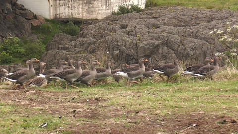 icelandic greylag goose walking in single file Footage