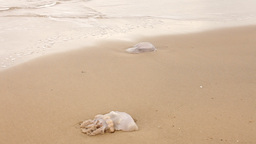 Jellyfish on a sandy seashore Stock Video Footage