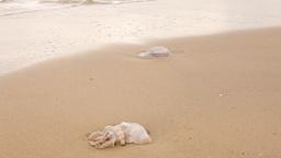 Jellyfish On A Sandy Seashore stock footage