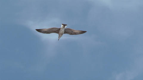 seagull fly 02 Stock Video Footage