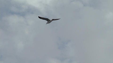 seagull fly 04 Footage