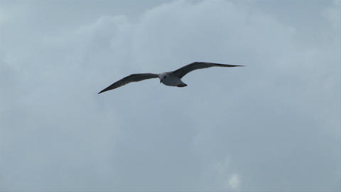 seagull fly 06 Stock Video Footage