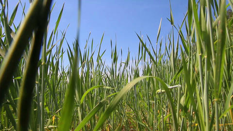 green wheat close-up - dolly shot Stock Video Footage