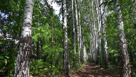 summer birch woods alley in Russia - dolly shot Stock Video Footage