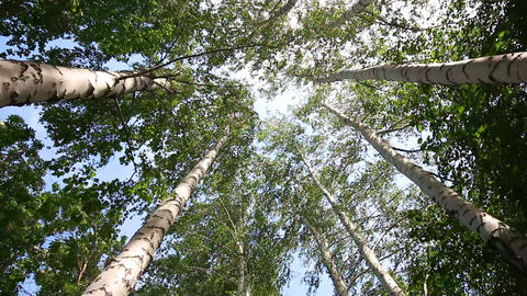 top of summer birch trees with sun shining - dolly Stock Video Footage