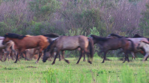 herd of horses running on pasture Footage