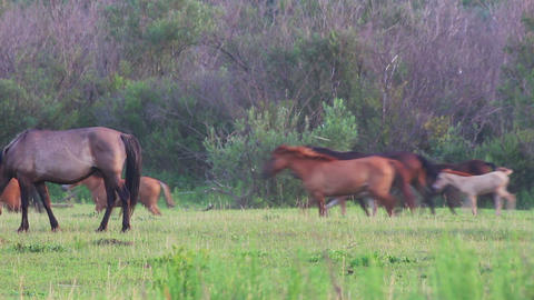 herd of horses running on pasture Stock Video Footage