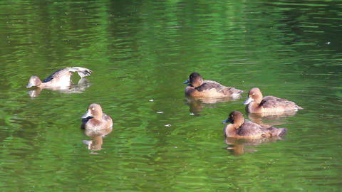 young ducks on pond Stock Video Footage