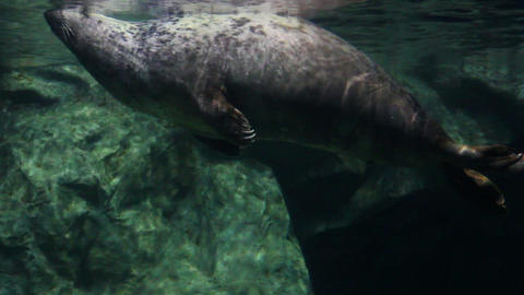 seal underwater Stock Video Footage