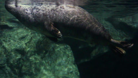 seal underwater Footage