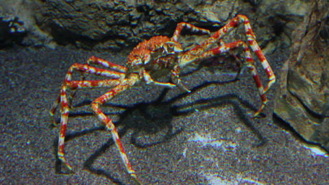 large crab underwater Stock Video Footage