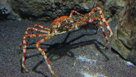 large crab underwater Footage