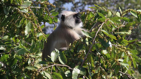 presbytis monkey eating fruits on tree Footage