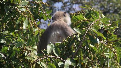 presbytis monkey eating fruits on tree Stock Video Footage