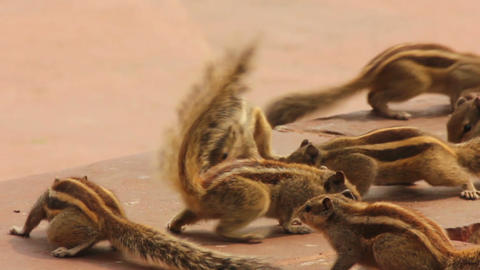 group of feeding chipmunks in India Stock Video Footage