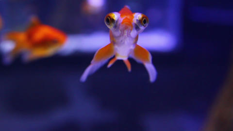 telescope goldfish in aquarium Footage