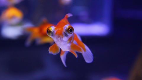 telescope goldfish in aquarium Stock Video Footage