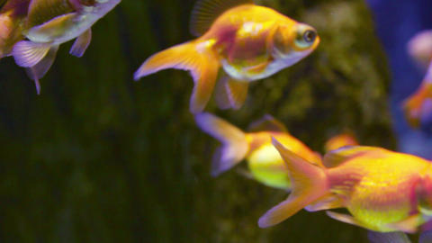 many goldfishes in aquarium Stock Video Footage