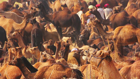 Pushkar Camel Fair - camels during festival Stock Video Footage