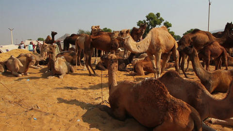 Pushkar Camel Fair - camels during festival Footage