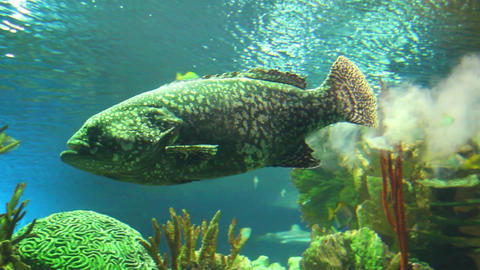 big grouper and sharks underwater Stock Video Footage