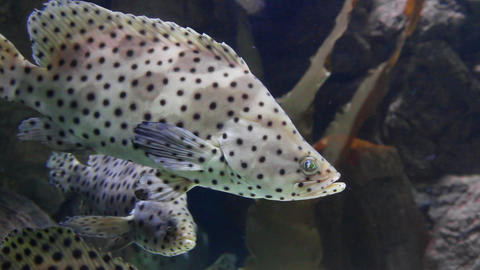 Tropical fish Panther grouper - Cromileptus altive Live Action