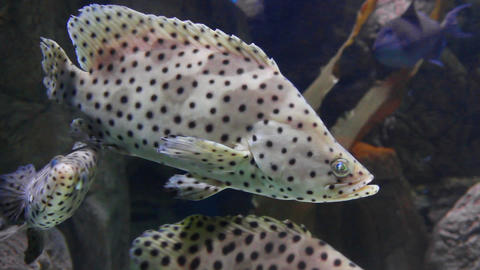 Tropical fish Panther grouper - Cromileptus altive Stock Video Footage