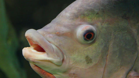big siamese carp close-up underwater Stock Video Footage