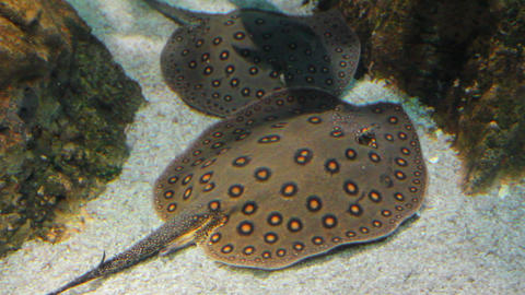 two rays undewater - porcupine river stingray Stock Video Footage