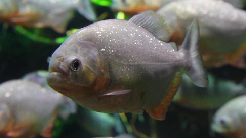 piranhas fish underwater Stock Video Footage