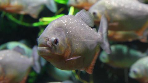 piranhas fish underwater Live Action