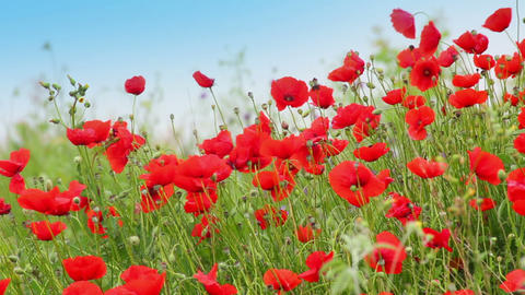 many red poppy flowers in field Stock Video Footage