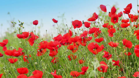 many red poppy flowers in field Footage